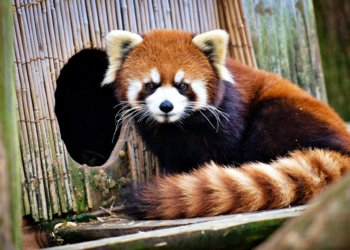 Panda Escapes From Columbus Zoo